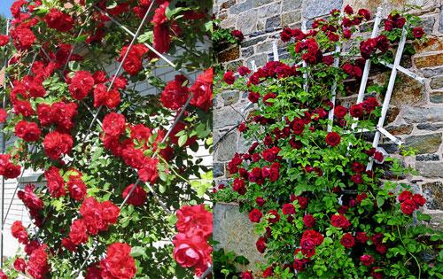 Какие опоры можно использовать для плетистых роз и как